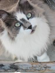 Stewey is an adoptable Domestic Long Hair - Gray And White Cat in Meadow Lake, SK. Stewey is a 6 year old spayed female who was surrendered for adoption. She's a green eyed beauty with long gray and w...