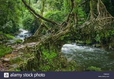 a-living-roots-bridge-over-a-river-in-deep-forest-surround-by-flora-F86EDH.jpg (1300×902)