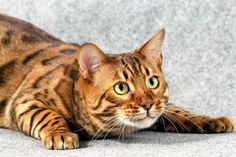 Here's why the Bengal cat is one of the most popular breeds =>  http://www.thepurringtonpost.com/bengal-cats-majestic-domestic-leopards/?utm_source=twitter&utm_medium=social&utm_campaign=SocialWarfare …