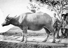 Old Photo. Water Buffalo, Cattle, Animals Beautiful, Old Photos, Moose Art, Rice, China, World, Ebay