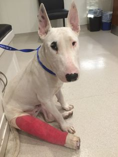 This beautiful Bull Terrier may remind you of our old pal Spuds McKenzie! Alexander is just as fun and is super sweet. He is a serious snuggler whose whole body wiggles when he wags his tail! He's about 1-2 years old.