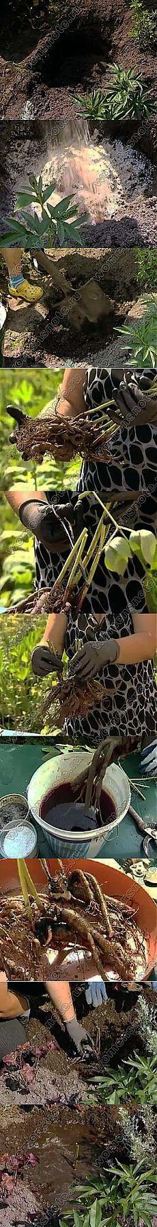 Когда пересаживать пионы | Цветоводство | Женский сайт