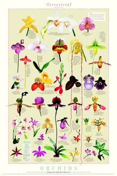 Gourmet Mushroom Kits & ProductsGrow Morel Mushrooms, Shiitake Mushroom, Oyster Mushrooms, Lion's Mane, King Oyster MushroomsOrchids Epiphytic Poster Epiphytic Orchids Poster: Full color 24 X 36 inch Short descriptions of each type of Orchid Exotic Plants, Exotic Flowers, Beautiful Flowers, Deco Floral, Arte Floral, Botanical Art, Botanical Illustration, Garden Plants, House Plants
