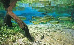 A grande quantidade de calcário e restos de cascas de caramujo dão incrível coloração azul à agua do Rio Sucuri