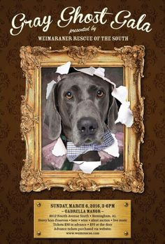 Fellow Weim supporters and dog lovers! Gray Ghost Gala, Weim Rescue of the South's largest annual fundraiser, is March 6th, 3-6 pm, at beautiful Gabrella Manor in Birmingham. Enjoy live music, hors d'ouevres, beverages and a silent auction; 100% of proceeds help provide health care and boarding for abandoned weimaraners from our five state service area before going to approved adoptive/foster homes. We'll have some fabulous 4-legged guests of honor as well! Get your tickets today…