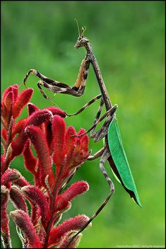 Beautiful Praying Mantis on a Kangaroo Paw plant - Anigozanthos Cool Insects, Bugs And Insects, Beautiful Bugs, Amazing Nature, Reptiles, Cool Bugs, A Bug's Life, Praying Mantis, Tier Fotos