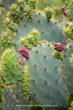 Violet flowers on an Opuntia at the Desert Botanical Gardens in Phoenix
