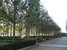 Birch Trees in La Defense