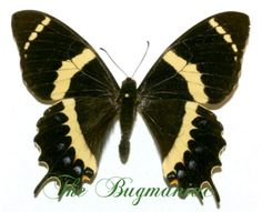 Papilionidae : Pterorous garamas abderus - The Bugmaniac INSECTS FOR SALE BUTTERFLIES FOR SALE INSECTS FOR SALE BUTTERFLIES FOR SALE BUTTERFLIES BY ECOZONE NEOTROPICAL ECOZONE PAPILIONIDAE