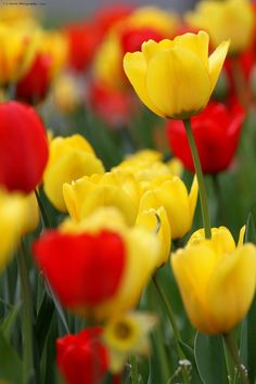 Red and Yellow Tulips • Photography Bokeh
