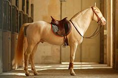 Opulent Nobility - Perlino Lusitano stallion at the riding academy at Versailles.