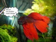 Oh no! Not another water change! This is something I KNOW my Blue-Rey would say!