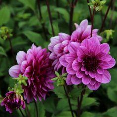 Decorative dahlia, purple. Flower size 11 cm. Dutch Gardens, Back Gardens, The Infernal Devices, Purple, Flowers, Garden Ideas, Decor, Tattoos, Google