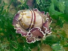 Top Ten US Beaches for Shell Collecting Ocean Deep, Deep Blue Sea, Jewel Of The Seas, Sea Snail, Sea Slug, Water Life, Ocean Creatures, Us Beaches, Ocean Life