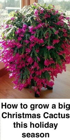 When I think of Christmas flowers, only a few plants come to mind. There is one, however, that produces stunning blooms during the holiday season. The Christmas cactus displays colorful blossoms on thick, scalloped stem art garden indoor plants Cacti And Succulents, Cactus Plants, Garden Plants, Cactus Flower, Indoor Cactus, Cactus Art, Veg Garden, Flowering House Plants, Garden Kids
