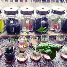 ☆BY INDY☆  instagram: indy_13_   #propagating #sowing #growing #indoor #cultivate #autumn #fall #plantlife #plants #herbs #plantlovers #urbangarden #urbangardening #basil #thyme #oregano #rosemary #parsley #mint #lemon #miniature #greenhouse #bonnemaman #jamjar #getcreative #nature #naturelovers #greenthumb #love #mothernature #organic