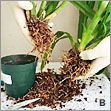 Soak orchids in sugar water (1 tbs sugar in 1 liter of h2o) to revive dessicated roots