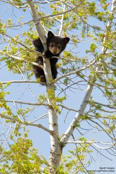 cub climbing in a tree by Barrett Hedges. cub climbing in a tree by Barrett Hedges.cub climbing in a tree by Barrett Hedges. Cute Baby Animals, Animals And Pets, Funny Animals, Wild Animals, Beautiful Creatures, Animals Beautiful, Bear Cubs, Grizzly Bears, Tiger Cubs
