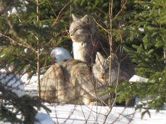 2 Lynx Enjoying The Sun Kapuskasing, Ontario Canada