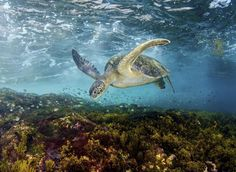 2017 National Geographic Nature Photographer of the Year | National Geographic  |  Photo By, Steven Kovacs - Turtle feeding in the shallows.