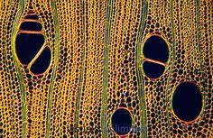 English Holly (Ilex aquifolium) wood cells, transverse section.