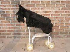 """Résultat de recherche d'images pour """"chien scottish"""""""