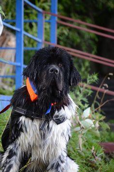 #ньюффёдор Спасатель Woter dog Newfoundland dog