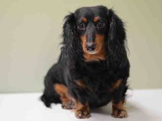 SAFE --- Manhattan Center  NEPPY - A1022737  FEMALE, BLACK / RED, DACHSHUND LH / DACHSHUND, 5 yrs OWNER SUR - EVALUATE, NO HOLD Reason PERS PROB  Intake condition EXAM REQ Intake Date 12/09/2014, From NY 10471, DueOut Date 12/09/2014, https://www.facebook.com/Urgentdeathrowdogs/photos/pb.152876678058553.-2207520000.1418162200./919266754752871/?type=3&theater