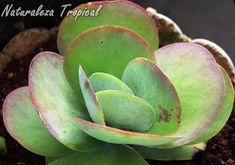 El Caracol de Mármol es hermoso por la forma redondeada de sus hojas que se colorean por la incidencia de los rayos solares, Kalanchoe thyrsiflora