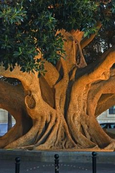 Huge ficus tree in Spain