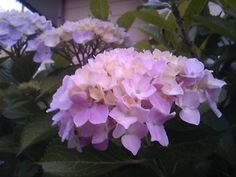 21th, June 2015 purple hydrangea