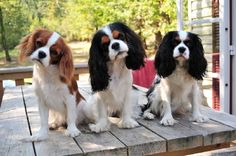st charles spaniels | Les cavaliers king charles , notre passion ,notre drogue ...