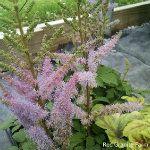 Part Shade-Including Part Sun-Shade Part Shade Perennials, Astilbe, Sun Shade, Deep Purple, Lilac, Bloom, Shades, Garden, Plants