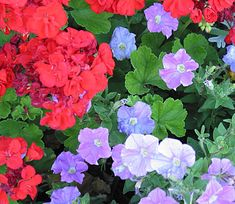 Geranium and Petunia      Bring hot and cold running color to your garden with this high-contrast combination. Silvery blue petunias and cherry red geraniums make this garden at home in beds and containers. Choose a trailing variety of petunia to add extra interest to a large pot planting. Although blooming will be best in sun, these plants will put up with some shade.
