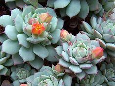 Easier than other succulents to care for, the echeveria is drought tolerant and can even handle frost - perfect for so many Australian conditions. If you want it to flourish give it the occasional watering and position it where it gets plenty of light. Echeveria, Low Maintenance Landscaping, Low Maintenance Plants, Cacti And Succulents, Planting Succulents, What Is Landscape Architecture, Cat Safe Plants, Cactus Y Suculentas, Drought Tolerant