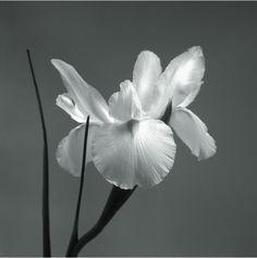 Art work / art print / Floral /  A540e - Iris I - 50x50 cm.  Cuadro Decorativo / Canvas / Litografia / Decoracion / Interiorismo / Flores / Artgallery