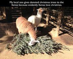 Evidently llamas love christmas.
