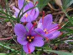 saffron crocus - Google Search