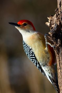Red-bellied Woodpecker | Flickr - Photo Sharing!