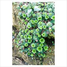 GAP Photos - Garden & Plant Picture Library - Saxifraga umbrosa on wall - GAP Photos - Specialising in horticultural photography
