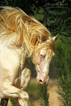 #horses.  Akhal Teke ---a golden Akhal Teke. Golden is a word for a range of shades of dun, but the coats of the Akhal Teke are famous for their metallic glow.