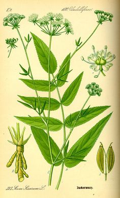 Sium sisarum commonly known as skirret,[1] is a perennial plant of the family Apiaceae sometimes grown as a root vegetable