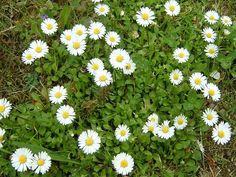 Sedmikráska chudobka (Bellis perennis)   Obsahuje Inulín, který pomáhá podporovat činnost jater, žlučníku a sleziny. Snižuje také hladinu krevního cukru. Dále obsahuje saponiny, které napomáhají vykašlávání a působí také protizánětlivě. Pomáhá v zažívacím ústrojí zachovat přirozenou mikroflóru. V jarním období je to ideální bylinka. Přidejte si listy i květy do salátů, nebo na chleba s máslem, ozdobte si sedmikráskou polévku nebo brambory. Na odkašlávání si připravte čaj nebo sirup z květů. ... Nordic Interior, Medicinal Herbs, Health Fitness, Photo And Video, Plants, Flora, Tips, Catalog, Plant