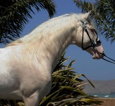 Cremello Lusitano - STUNNING! | Stallions At Stud | Epona Exchange - Caetano