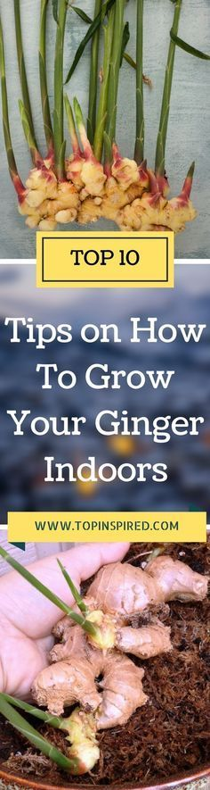 Did you know that you can actually grow ginger indoors? Being a tropical plant it does not tolerate frost, so unless you live in a warm, humid climate, it's best to grow ginger in a pot indoors. Ginger grows well in partial to full shade, which makes it ideal for growing in your home. Ginger is a no-fuss plant plus it is very pretty with its bamboo-like green shoots and leaves. #Ginger