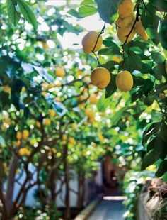 there are lemons hanging around everywhere you look. (capri)