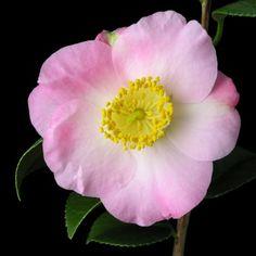 Camellia japonica 'Tenshi' (Japan, 1960)