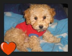 Toy Poodle Grooming Cuts | does anyone have pictures of their poodle cuts?.my older toy poodle ...