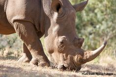 Did you know that rhino horn is mostly made of keratin? The same material found in human hair and nails. Rhino horn is not medicine! http://www.savetherhino.org/rhino_info/threats_to_rhino/poaching_for_traditional_chinese_medicine