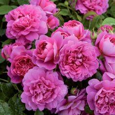 "Oh yes, this ""Princess Anne"" David Austin shrub rose is pink!"